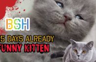 BRITISH-SHORT-HAIR-25-DAYS-KITTEN-PLAY-TOGETHER-.-VIRAL-TRENDING-.-FUNNY-CATS-.
