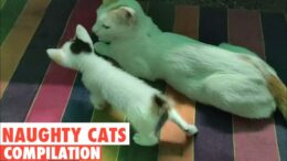 Baby-cats-cute-and-funny-cat-videos-l-simba-rubi