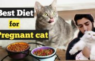 Best-Food-Diet-for-a-Pregnant-Cat-How-to-Care-For-a-Pregnant-Cat-Diet-tips-for-Cats