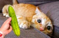 Best-Scared-Cats-Top-Funny-Cat-Videos-of-The-Week-Funny-Cat-Moments-Funny-Pets-Moments-2