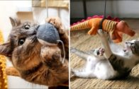Cat-Reaction-to-Playing-Toy-Funny-Cat-Toy-Reaction-Compilation-1-CatsoPedia