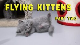 Cute-Kittens-Playing-in-Slow-Motion-Funny-Cat-Video-British-Shorthair-Cats-Kitten-Lilac-Blue