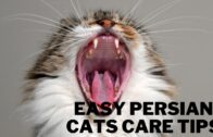 Easy-Persian-Cats-Care-Tips
