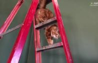 Great-Danes-Watch-Funny-Cat-Climb-A-Ladder