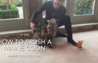 How To Brush A Maine Coon Cat: 12 Cat Care Tips
