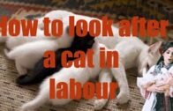 How-to-look-after-a-Cat-in-Labour-How-you-can-Help-a-Cat-During-Labour-Pregnancy-complications