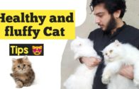 How to make Persian Cat healthy and Fluffy | care for Persian cat | tips for happy and healthy cat