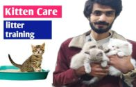 Young-kittens-care-kitten-litter-training-persian-cat-best-food-for-young-kittens